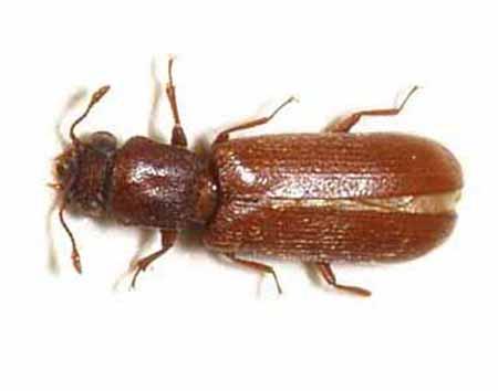 insectos xilófagos