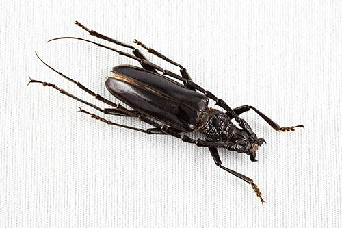 identificación microscópica de insectos