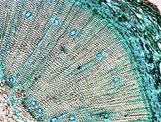 identificación microscópica de la especie de madera