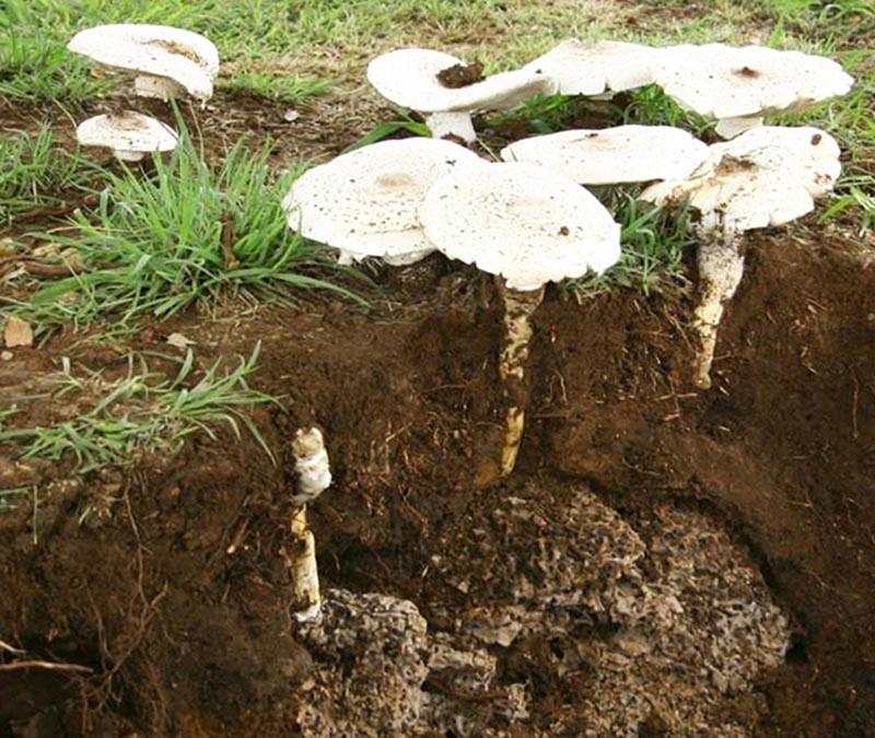 Las termitas ciclo de vida en frica sanite for Hongos en el jardin
